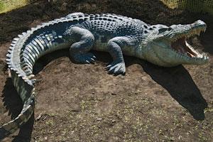 Австралийские крокодилы
