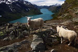 Норвежские овечки - операторы