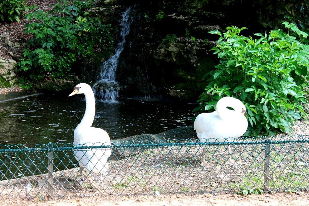 Лебеди в парке Руана
